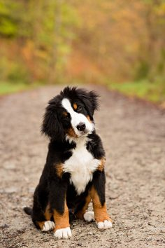 Bernese Mountain Dog Puppy ♥ #puppy I WILL have one some day.  – Jean-Philippe Pau Saint-martin