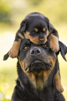 The Rottweiler is a guard race. People say they are brave but they are not. They are brave because the owners teach him to be like that.  – Laetitia Le Corgne