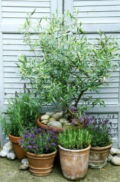 This is why you need olive trees in your home and garden  – giniep