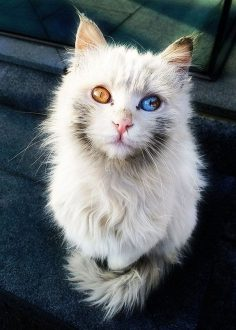 Here are some cats with multicolored eyes, felines that are suffering from heterochromia.  – Relilibelle