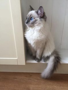 And regal beyond what any humans can convey. | 17 Adorable Cats Who Will Convince Everyone They Should Like Cats  – liebelanders