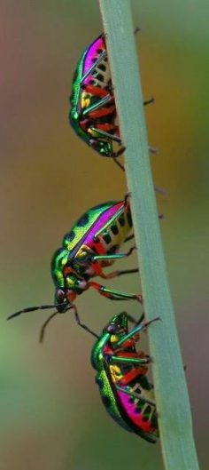 Brightly colored insects  – misstiigri