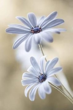 Photographic Print: Cape Daisies by Mandy Disher : 24x16in  – artdotcom